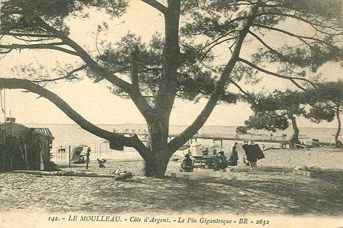 Le Pin du Moulleau