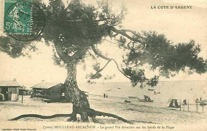 Le pin déraciné